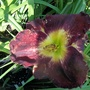 Daylily  dark red 24.6.20