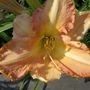 Daylily  peachy  24.6.20