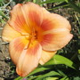 Hemerocallis Real Wind (For my File) (Hemerocallis)