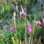 Dierama pulcherrimum (Dierama pulcherrimum (Angel's fishing rod))