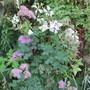 Thalictrum (Thalictrum aquilegiafolium)