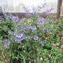 Salvia uliginosa African Skies (Salvia uliginosa (Bog sage))