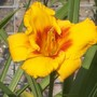 Daylily 'Love Those Eyes'