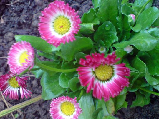bellis daisy pink (Bellis perennis)