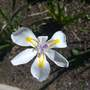 Dietes (Dietes grandiflora (Wild Iris))