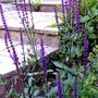Salvia nemorosa ' caradonna'