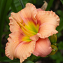 Orange_day_lily_ins2_1_of_1_