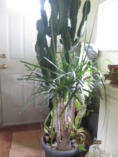 9831 ponytail palm w/euphorbia