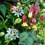 Passiflora White lightning mixing with Abutilon Kentish Bell