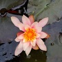 Pond lily. (Lily)