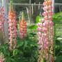 9826 pink lupin (greenhouse)
