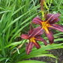 Daylily Black Magic
