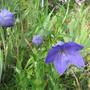 Platycodon grandiflorus (For my File) (Platycodon grandiflorus (Balloon Flower))