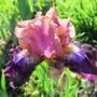 Iris Fanciful Whimsy (Iris germanica (Orris))