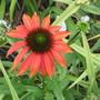 Echinacea Cheynne Spirit (For my File)  (Echinacea)