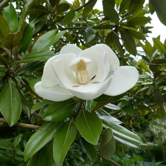 Magnolia grandiflora 'Exmouth' - 2020 (Magnolia grandiflora 'Exmouth')