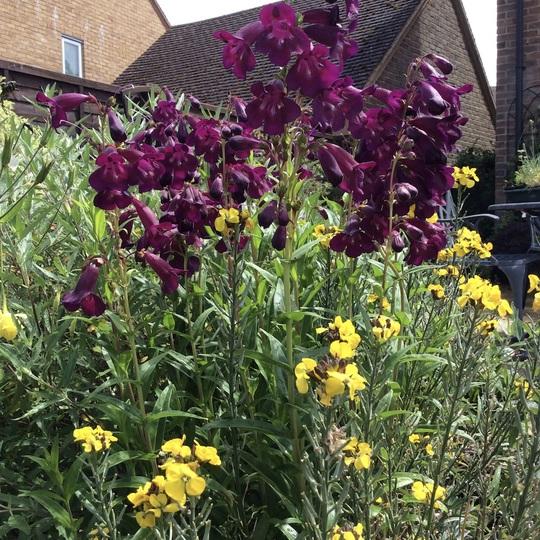 Penstemon 'Blackbird' and last of yellow wallflower.