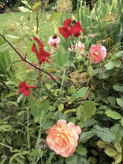 Rose 'Westerland' with old-fashioned sweet pea.