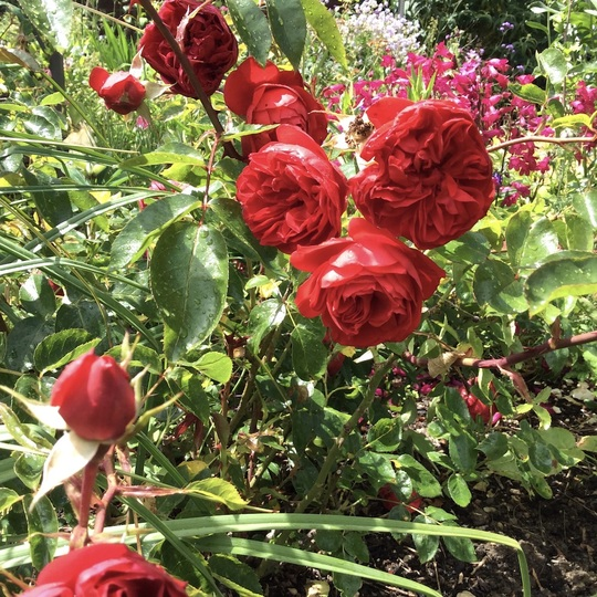 Rose 'Red Letter Day'