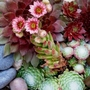 Sempervivum_.
