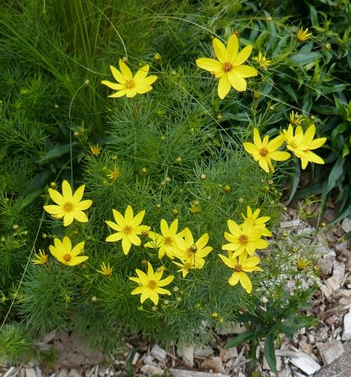 Coreopsis verticillata - 2020 (Coreopsis verticillata)