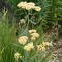 Achillea 'Terracotta' - 2020 (Achillea millefolium)