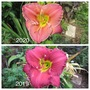 Duplicated Daylily Entry (Hemerocallis)