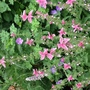 For Sheila....Salvia viridis pink sundae (Salvia viridis)