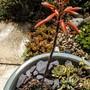 Aloe Humilis.