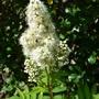 Sorbaria sorbifolia sem flower (Sorbaria sorbifolia)