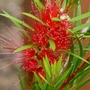 Callistemon_bottle_brush
