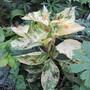 Persicaria virginiana Painters Palette (Persicaria virginiana)