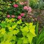 Physocarpus and Hydrangeas....