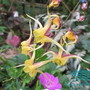Epimedium Fire Dragon (Epimedium davidiiXleptorrhizum)