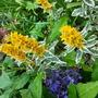 Lysimachia....Alexander (Lysimachia punctata (Garden Loosestrife))