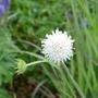 Knautia arvensis f. albiflora - 2020 (Knautia arvensis)