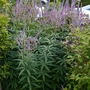 Veronicastrum virginicum 'Fascination' - 2020 (Veronicastrum virginicum)