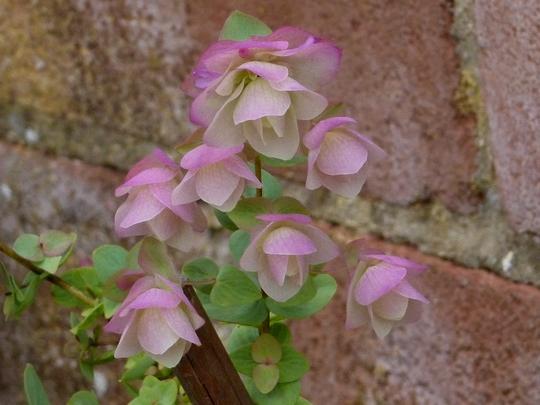 Origanum x hybridinum    Kent Beauty