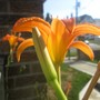Wild Day Lily