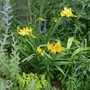 Crocosmia_paul_s_best_yellow_2020