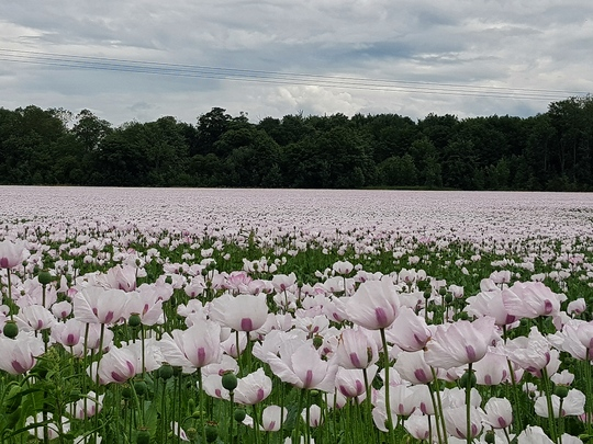 Poppy field in Lincolnshire.