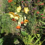 Primula florindae, shades of Orange (For my File) (Primula florindae)