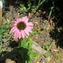 Echinacea 'Cheyenne Spirit'  (Echinacea)