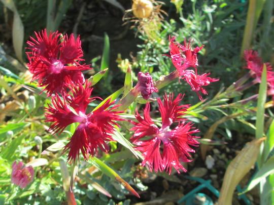 Dianthus superbus Red (Dianthus superbus (Crimsonia Pink))