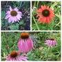 My 3 Echinacae (Echinacae purpurea)