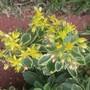 Sedum Kamtschaticum f. Variegatum