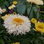 Leucanthemum......