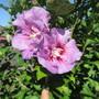 Hibiscus syriacus (Hibiscus syriacus (Gurhul))