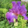 Bearded iris Cranberry Ice (Iris germanica (Orris))