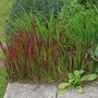 Imperata_cylindrica_red_baron_2020